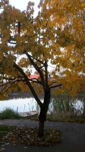 Der Kirschbaum in herrlichem Gelb.
